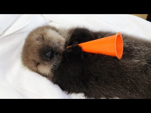 🦦🌊 Watch Baby Sea Otter Joey And His Friends Live 🔴