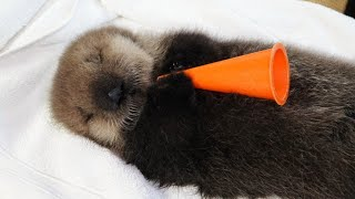 Watch Baby Sea Otter Joey Live
