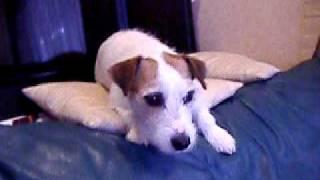 ジャックラッセルテリアの子犬のアリスは母親に遊んでもらいたい年頃。...