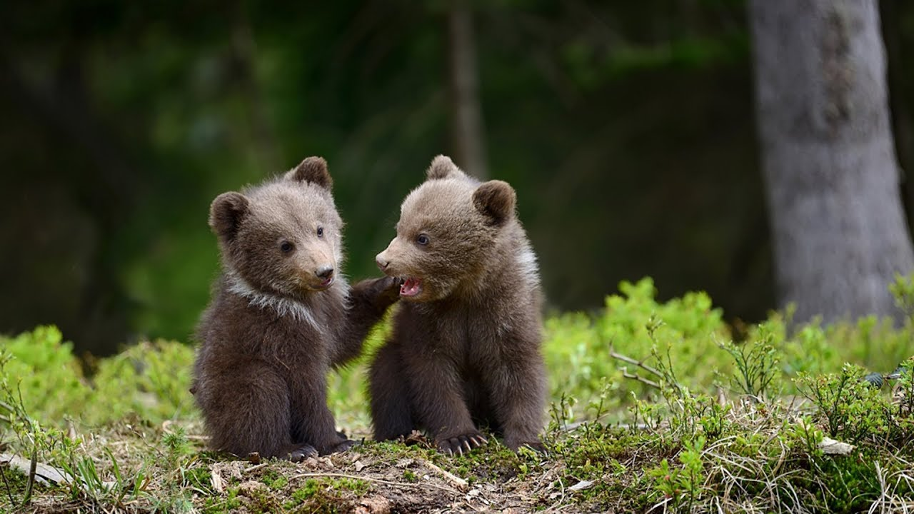 Twin brown bear cubs make public debut in south China ...