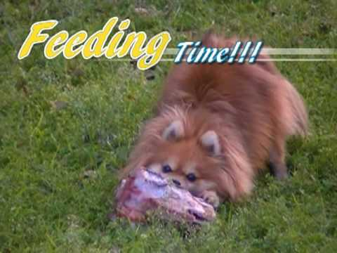 Pomeranian Raw Feeding *WARNING - GRAPHIC*