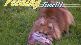 Pomeranian Raw Feeding *warning - Graphic*
