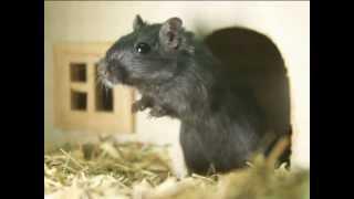 Декоративные мышки. Все О Домашних Животных.