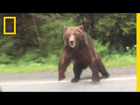 Thumbnail: Watch: Bear Charges Car | National Geographic