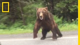 Watch  Bear Charges Car | National Geographic