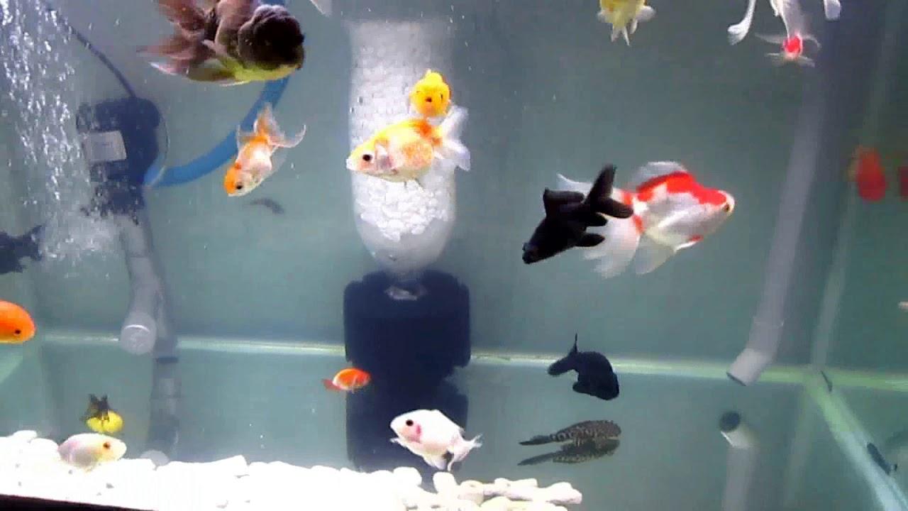 Cách đơn giản quản lý lượng thức ăn tránh làm đục nước cho hồ cá vàng