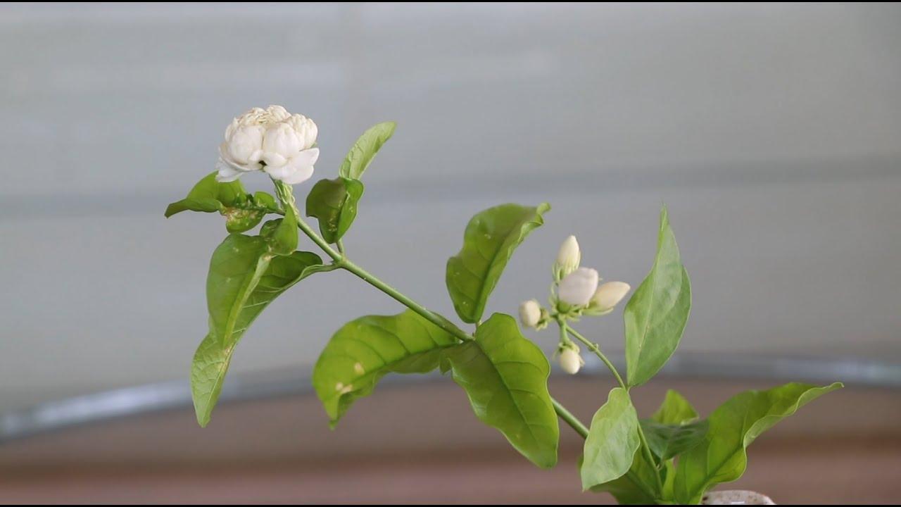 จัดดอกไม้เพื่อสุขภาพ (ดอกมะลิ)