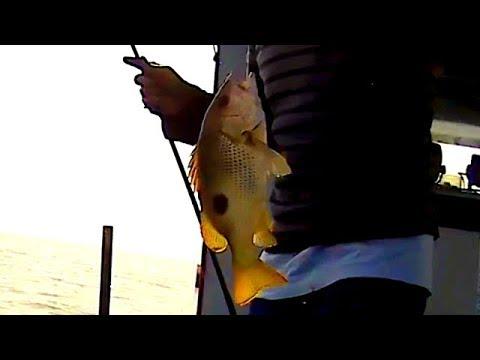 Umpan UDANG PUTIH memang ampuh untuk Mancing Dasaran / bottom fishing