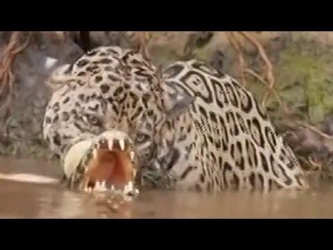 Leopard vs crocodile. Top attacks. Jaguar kills the crocodile