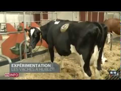 la vache a hublot