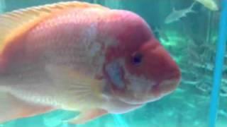 Paul talbot talking about red devil cichlids