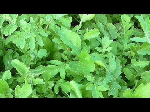Вопрос: Колокассия , что за растение?