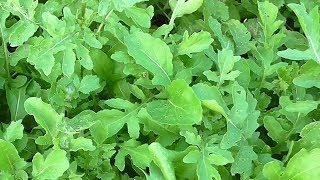 Что такое рукола и как ее выращивать