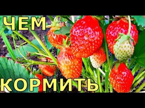 БОЛЬШОЙ урожай КЛУБНИКИ как УХАЖИВАТЬ