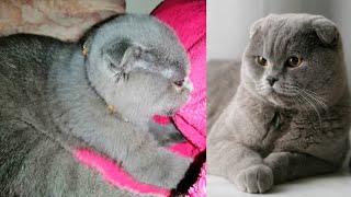 Meet our 2nd cute cat 2months old BREED SPOTLIGHT SCOTTISH FOLD