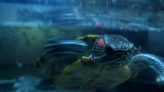 Мои красноухие черепахи Дашка и Тартила