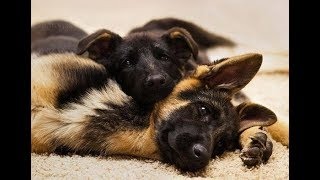 Funny and Cute German Shepherd Puppies Compilation #3 - Cutest GSD