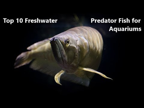 Top 10 Freshwater Predator Fish For Aquariums