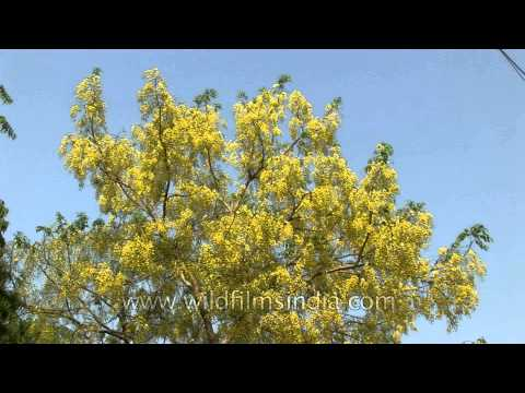 Blooming of Amaltash tree