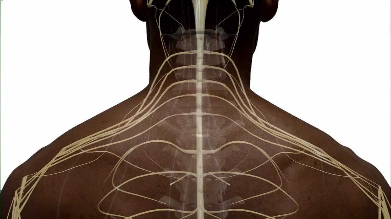 Anatomy Of The Spinal Cord And How It Works Youtube