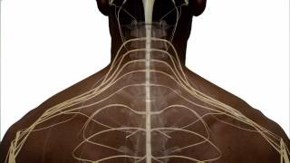 Anatomy of the Spinal Cord and How it Works