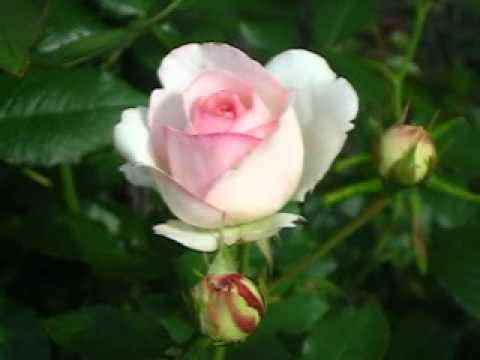 Роза Пьер де Ронсард(Эден роза)  на www.parostok.prom.ua