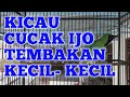 Cucak Ijo Ngentrok Nembak Suara Kecil Kecil  Mp3 - Mp4 Download
