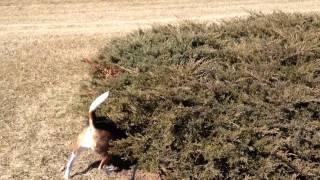 Rigby Beagle Smells A Rabbit!
