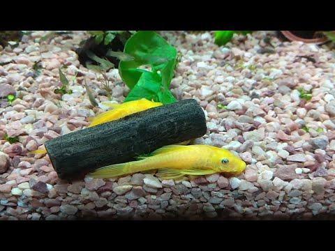 sirenatv: Анциструс альбинос (золотой) (Ancistrus dolichopterus var. Albino) и листья одуванчика