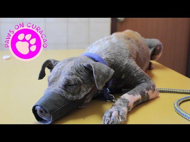 Dierenhulp op Curaçao - Feed Friends Foundation -  Met Muffin naar de Dierenarts