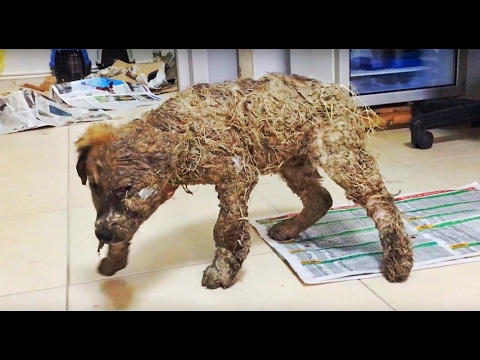 AMAZING TRANSFORMATION OF DOG DROWNED IN GLUE!! LOOK AT THIS!!