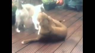 Котка побеждава питбул