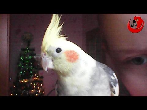 """Gadająca papuga Dino – """"Dino mówi 'Dzień dobry'"""" (Dino the Talking Parrot)"""