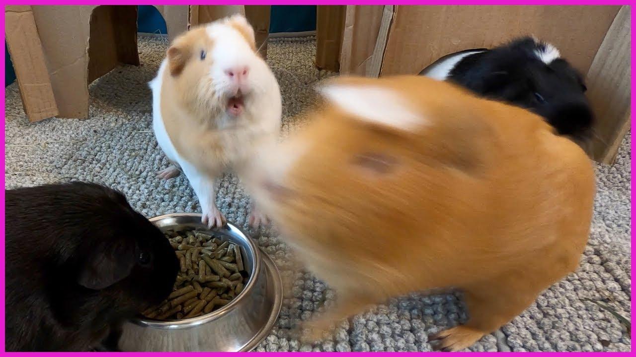 Guinea pigs get feisty when the pellet bowl returns