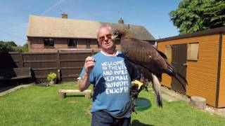 Golden eagle feeding time