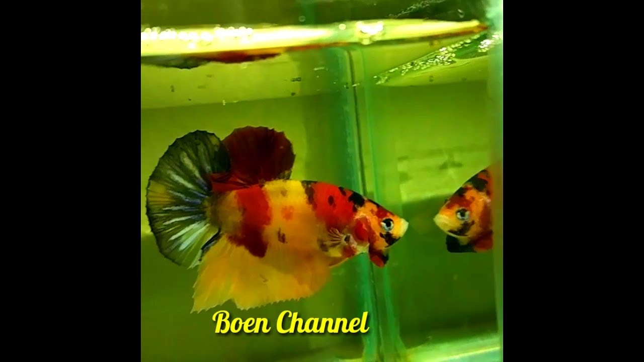 Ikan Cupang Plakat Fancy Koi Nemo Yellow Base Youtube