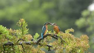 カワセミペアがもめちゃって・・・Common Kingfisher