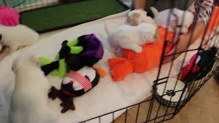 Coton Puppies For Sale - Kara 10/27/20