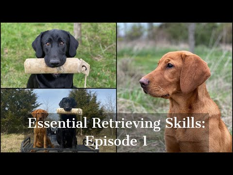 Labrador Retriever | Essential Training Skills Episode 1