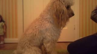 "Как научить собаку давать лапу/ Команда ""Дай лапу!"""