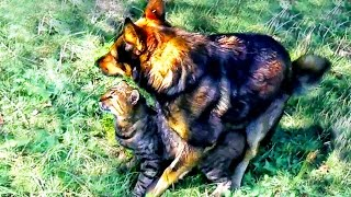 Ridiculous animals mating. Big dog in love with kitty