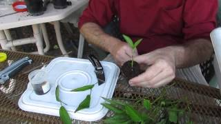 Growing Pepinos from cuttings, a great gift idea..