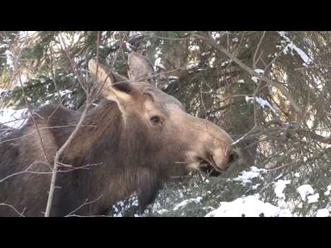 Moose in Eagle River, AK