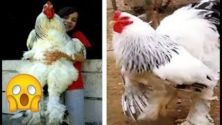 أغرب 7 فصائل دجاج لن تصدق وجودها