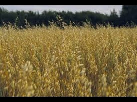 ➯ Acres an acres of oats  1080P CHECK IT OUT!