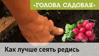 Голова садовая - Как лучше сеять редис