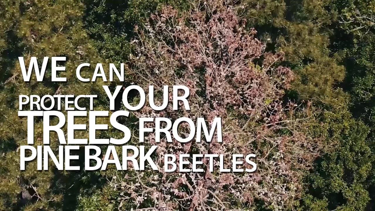 Pine bark beetles Kingwood, TX - EAST END PARK - ArborTrue ...