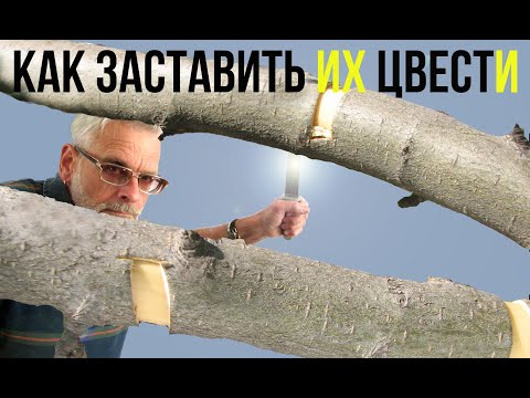 Как заставить яблоню цвести / Кольцевание плодовых деревьев / Игорь Билевич