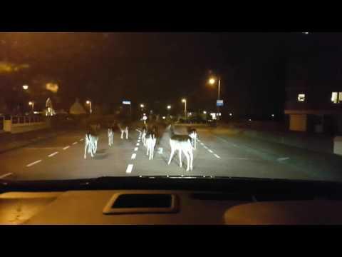 Herten Zandvoort, Deer's in Zandvoort
