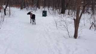 GREAT DANE Crisp Winter Forest Walk Thumbnail